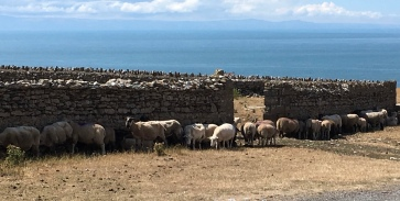 Too hot even for sheep at Ogmore !